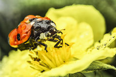 Ladybug, on  yellow flower Royalty Free Stock Image