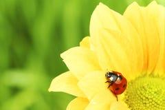 Ladybug on yellow flower Stock Photos