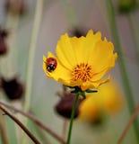 Ladybug on yellow flower Stock Photography