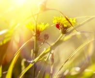 Ladybug on yellow flower Royalty Free Stock Photo
