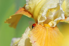 Ladybug on a yellow flower Royalty Free Stock Photo