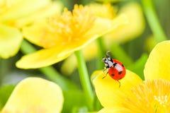 Ladybug on yellow flower Royalty Free Stock Photos