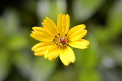Ladybug on yellow flower's petals Royalty Free Stock Images