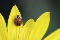 Ladybug on yellow. Flower in spring Stock Images