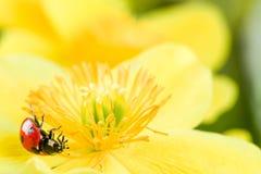 Ladybug on a yellow flower Stock Photo