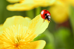 Ladybug on a yellow flower Stock Photography