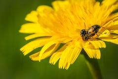 Ladybug on yellow flower two having sex Royalty Free Stock Photo