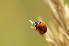 Ladybug on yellow grass in fall Royalty Free Stock Photo