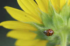 Ladybug on yellow. And green flower Stock Image