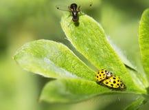 Ladybug yellow Stock Image
