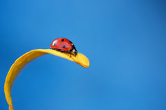 Ladybug on yellow leaf Royalty Free Stock Photos