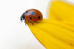 Ladybug on yellow leaf Royalty Free Stock Photography