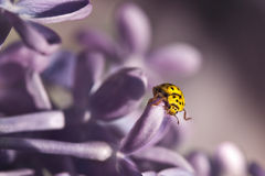 Ladybug yellow and lilac Royalty Free Stock Photos