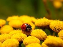 Ladybug on yellow meadow flowers Royalty Free Stock Photo