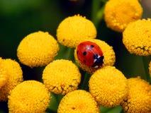 Ladybug on yellow meadow flowers Stock Photos