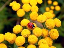 Ladybug on yellow meadow flowers Stock Photo