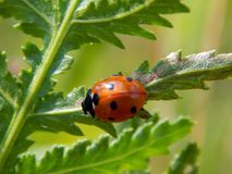 Ladybug on yellow meadow flowers Stock Images