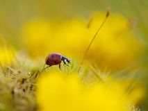 The ladybug. The yellow spring flowers and their friends Royalty Free Stock Images