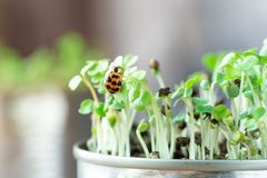 Ladybug on young sprouts. royalty free stock photos