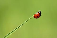 ladybugon liść porada Zdjęcia Royalty Free