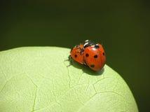 ladybugs αγαπώντας δύο στοκ φωτογραφία
