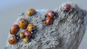 Ladybugs ζωντανό στο δέντρο autmn απόθεμα βίντεο
