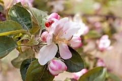Ladybugs στα δέντρα μιας λουλουδιών μηλιάς Στοκ Εικόνες