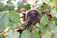 Ladybugs στον κλάδο δέντρων της Apple Στοκ Εικόνες