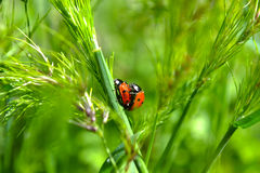 ladybugs δύο στοκ φωτογραφία με δικαίωμα ελεύθερης χρήσης