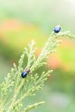 Ladybugs внутри outdoors, насекомое на дереве Стоковые Фото