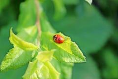 Ladybugs в влюбленности Стоковые Изображения RF