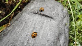 Ladybugs в журнале Стоковые Изображения