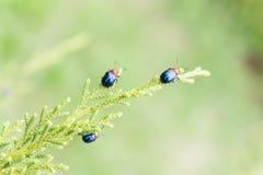 Ladybugs в ourdoor, насекомом на дереве Стоковые Изображения RF
