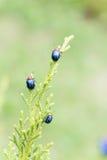 Ladybugs в ourdoor, насекомом на дереве Стоковое Изображение RF