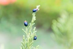 Ladybugs в ourdoor, насекомом на дереве Стоковая Фотография RF