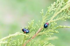 Ladybugs в ourdoors, насекомом на дереве Стоковые Изображения