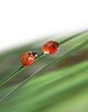 ladybugs зеленого цвета травы Стоковая Фотография