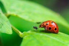 Ladybugs играя с приятелем Стоковое Фото