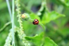Ladybugs идя вверх на траву стоковое фото rf