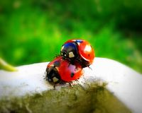 Ladybugs наслаждаются весенним временем Стоковые Изображения