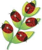 Ladybugs на ветви Стоковая Фотография