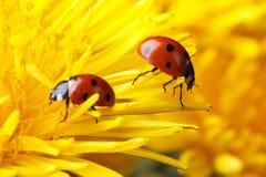 2 ladybugs на лепестках одуванчика Стоковые Изображения