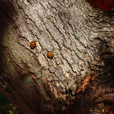 2 Ladybugs на дереве Стоковая Фотография