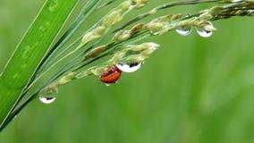 Ladybugs на листьях и росе Стоковые Изображения