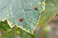 2 ladybugs на лист Стоковые Фото