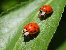 2 ladybugs на лист Стоковая Фотография RF