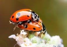 2 ladybugs на крупном плане завода Стоковые Изображения