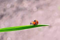 Ladybugs на предпосылке почвы Стоковые Изображения