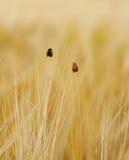 2 ladybugs на пшеничном поле идут вверх Стоковая Фотография RF