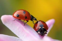 2 ladybugs на розовом цветке Стоковая Фотография RF